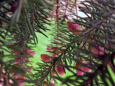 Buds On The Pine Tree