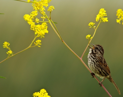 Song Sparrow In The Wildflowers