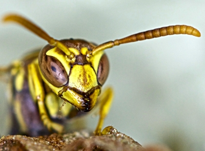 Stare Down With A Wasp