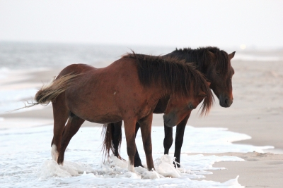 Ponies Standing In The Surf