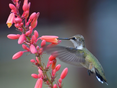 Hummingbird With Red Yucca