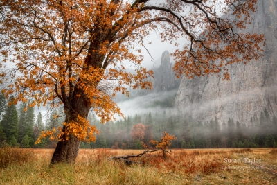 Yosemite Autumn Oak