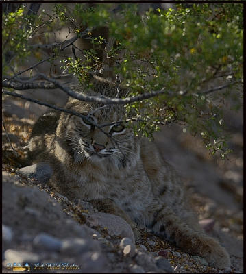 Playful Young Bobcat