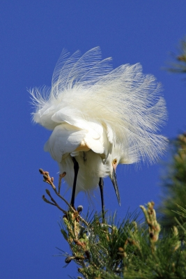 Egrets Beauty