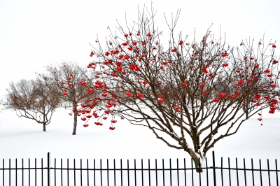 Red Berries & Snow