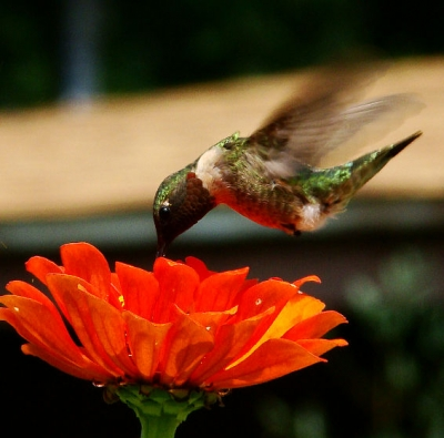 Ruby Throated Hummingbird In Motion
