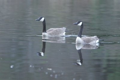 Geese In Calm Water