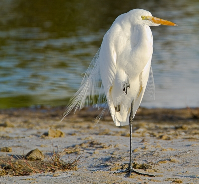 Egret Taking A Break