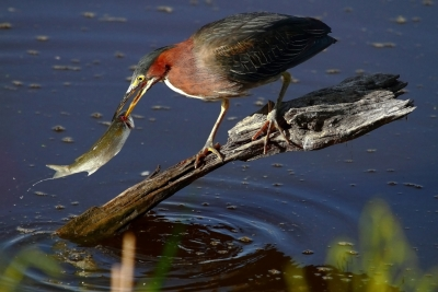 Green Heron Spearing A Mullet