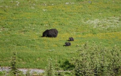 Black Bear Sow And Cubs