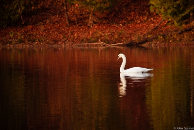 Swan On A Fall Morning