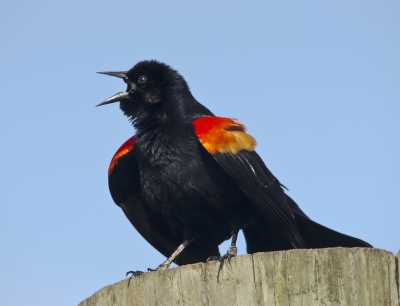 Red Winged Blackbird Posturing