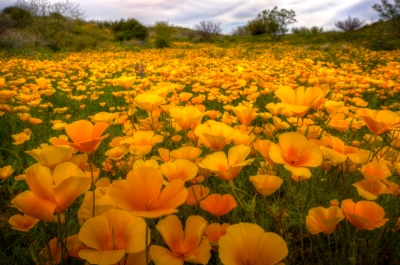 A Field Of Mexican Poppies