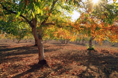 Color In The Walnut Orchard