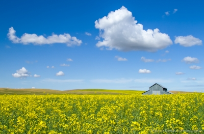Canola Field And Barn