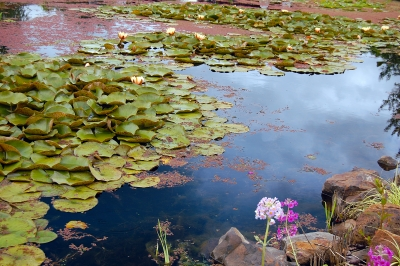 Lily Pond At The Oregon Garden