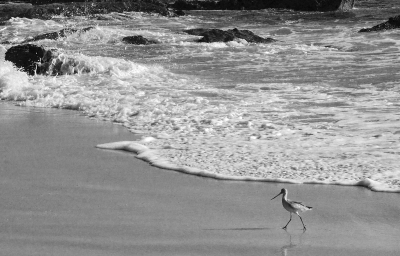 Sand Piper On Crystal Cove Beach