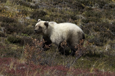 Grizzly Cub In Tundra