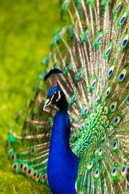Peacock Blue And Green
