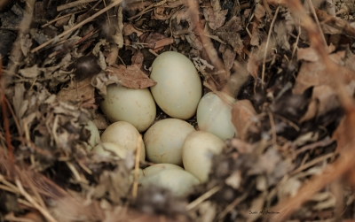 Duck Eggs Along The Susquehanna