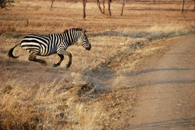 Zebra In A Hurry