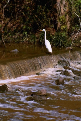 Egret Standing In A Stream