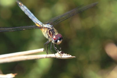 Dragon Fly 6824