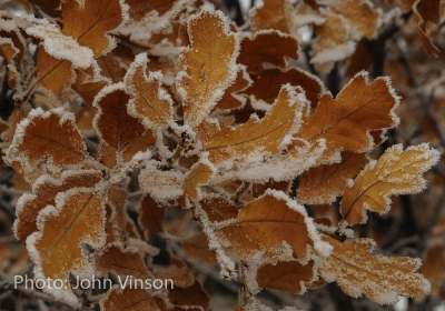 Frosted Scrub Oak