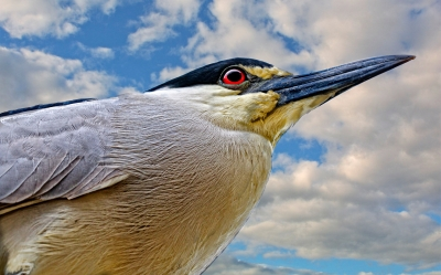 Black-crowned Night Heron At Sunrise
