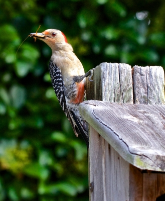 Red-bellied Woodpecker With Grasshopper