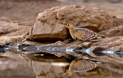 Male Double Banded Sandgrouse