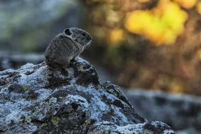 Wistful Pika