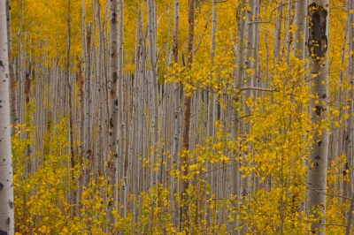 Fall Colors – Aspen