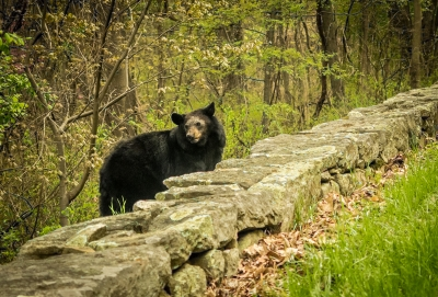 Bear On Skyline Drive