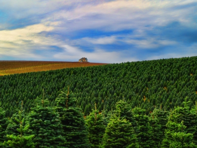 Christmas Trees And Wine Fields