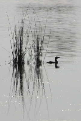 Grebe And Grasses