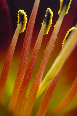 Red Lily Stamen