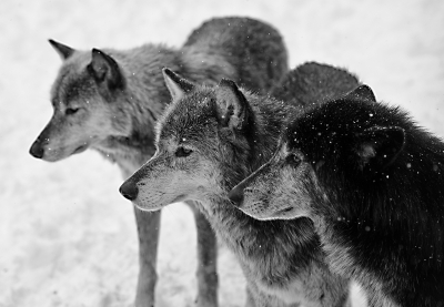 Three Wolves In Snow