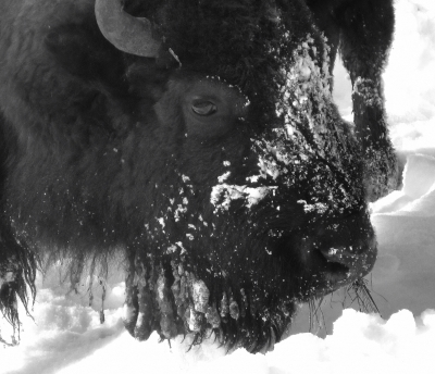 Bison Eating In Snow
