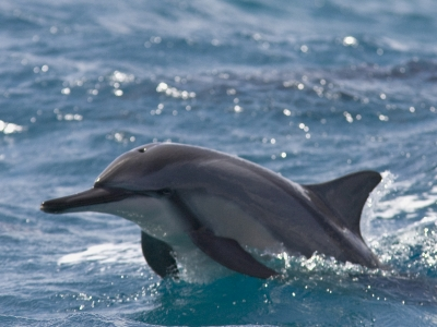 Sailing With Spinner Dolphins