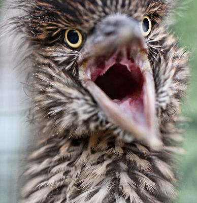Baby Double-crowned Night Heron (narrow Dof To Focus On Eyes)