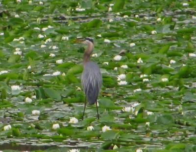 Heron In The Lilies