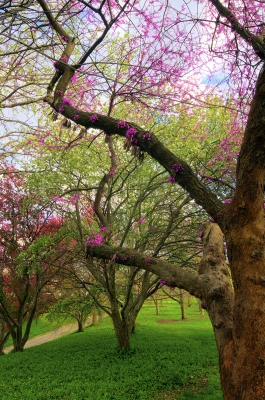 Red Bud Blossoms