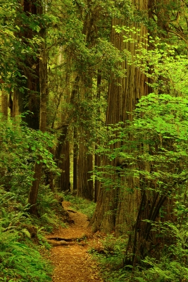 Path Through The Redwoods In Summer