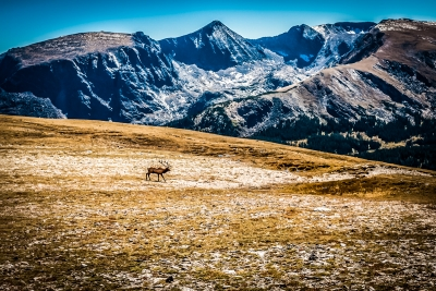 Bull Elk Crossing Tundra In Rmnp