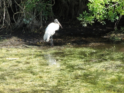 Wood Stork At The Edge Of A Pond