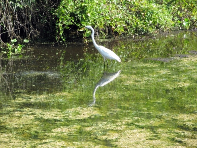 Great White Heron In A Pond