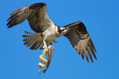 Osprey With Bounty