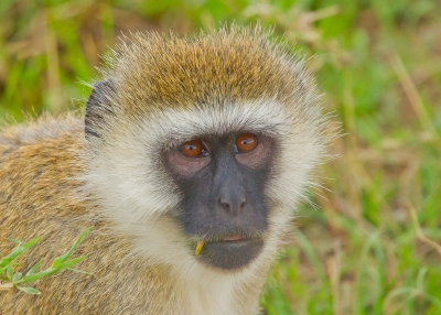 """""""snaggletoothed"""" Black Faced Monkey"""