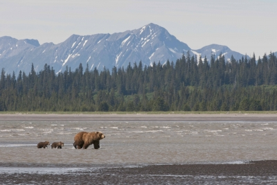 Brown Bear Mother Leading Cubs Off The Beach